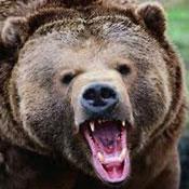 Колючая проволока не останавливает медведей